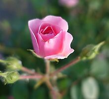 Beautiful pink rose flower picture. by naturematters