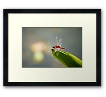 Red dragonfly  Framed Print