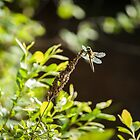 Dragonfly at Priest Brook by Rebecca Bryson