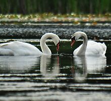 Swan love is forever..... by Poete100
