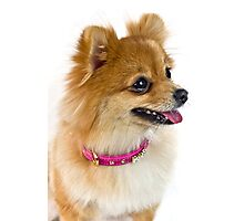 The cute Pomeranian Photographic Print