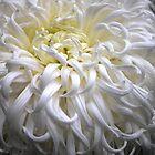 Beautiful white flowing Crysanthemum by Lozzar Flowers & Art