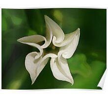 Datura bloom Poster