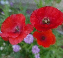 Beautiful red poppy flowers. by naturematters