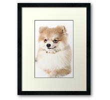 Pomeranian dog over white Framed Print