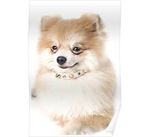 Pomeranian dog over white Poster