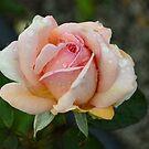 Roses in the rain by Pieta Pieterse
