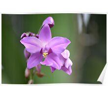purple dendrobium orchid Poster