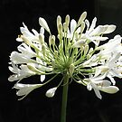 agapanthus - white by Floralynne