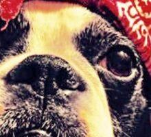 Boston Terrier in bandana Sticker