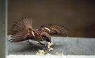 Sparrow by Irina777