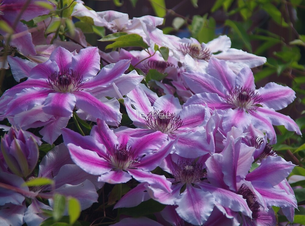 Clematis Nelly Moser by lezvee