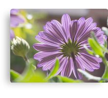Photograph of an African daisy growing in a garden Canvas Print