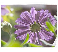Photograph of an African daisy growing in a garden Poster