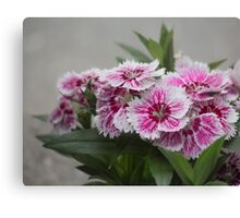 Sweet William growing in a garden Canvas Print