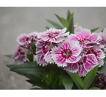 Sweet William growing in a garden Photographic Print