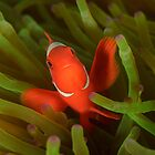 Spine-cheek Anemonefish - Premnas biaculeatus by Andrew Trevor-Jones