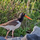 American Oystercatcher by Bonnie T.  Barry