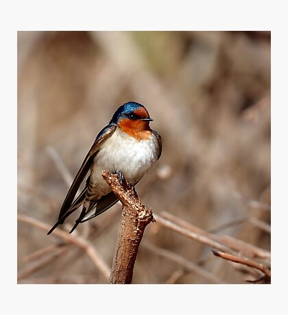 Welcome Swallow Photographic Print