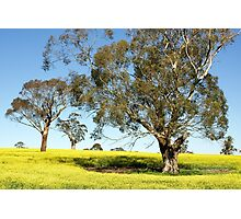 Eucalypts in Canola Photographic Print