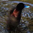 Spin drying -  Blue Billed Duck - Werribbee - Vic  by john  Lenagan