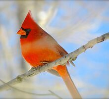 Cardinal Red by NatureGreeting Cards ©ccwri
