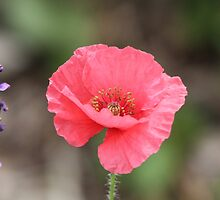 Pink Poppy by hummingbirds
