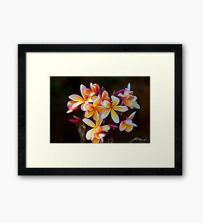 Frangipanis Framed Print