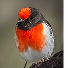 Red Capped Robin. by James Peake Nature Photography.