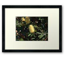 Banksia at Lennox Head Framed Print