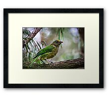 Green Catbird,  Framed Print