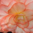 Begonia in Shades of Apricot by Marilyn Harris