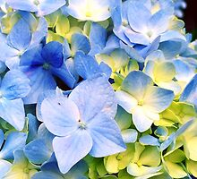 Blue Hydrangeas by OneDayOneImage Photography