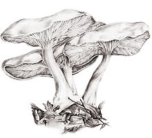 Fungi mushroom study mono pencil drawing by Sarah Trett