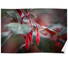 Red droplets of the Fuchsia Gartenmeister Poster