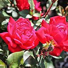 Spring Roses by debidabble