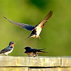 Barn Swallows by Photography by TJ Baccari