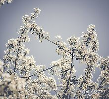 Dogwood Blossom by beresy