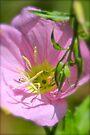 Showy Evening Primrose by NatureGreeting Cards ©ccwri