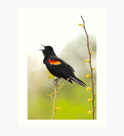 Red Wing Blackbird singing its heart out Art Print