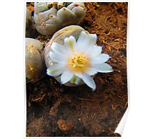 peyote with flower - peyote con flor Poster