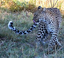 Leopard Ready to Hunt by Marylou Badeaux