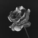 A Pink Rose in Black & White by Buckwhite