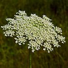 The Edible Queen Anne's Lace by WildestArt