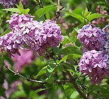 Violet Lilacs by kkphoto1