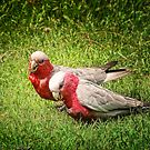 Gilaa (Galah) by wallarooimages