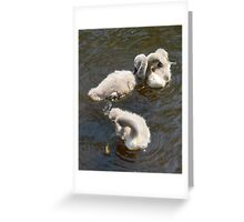 Baby Cygnets Greeting Card
