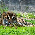 Tired Tiger by Jeanette Muhr