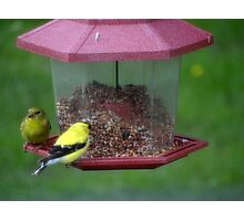 Mr. and Mrs. Goldfinch Photographic Print