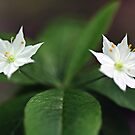 Starflowers - Late Afternoon Light by T.J. Martin
